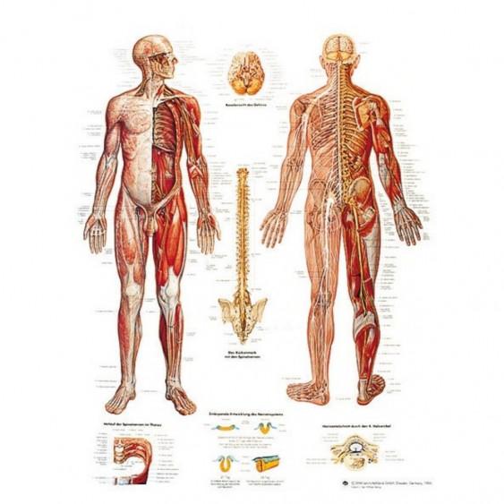 PLANCHE ANATOMIQUE systeme nerveux