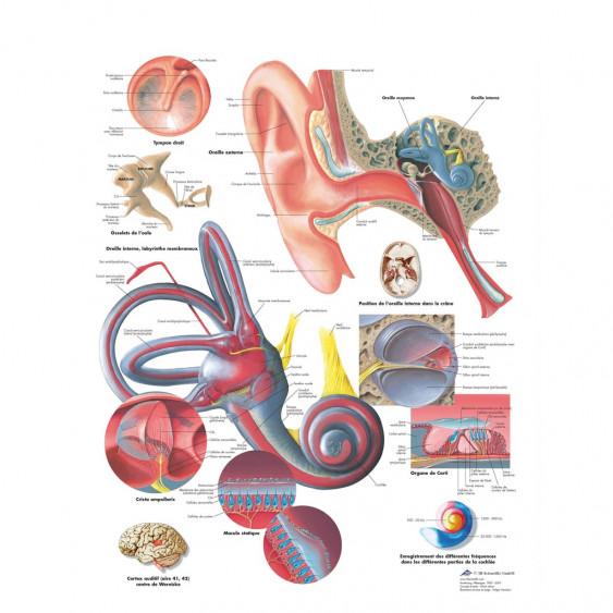 PLANCHE ANATOMIQUE oreille humaine
