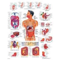 Planches anatomiques - Système digestif