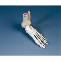 Squelette - pied Taille réelle