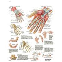Planche anatomique - Main et poignet