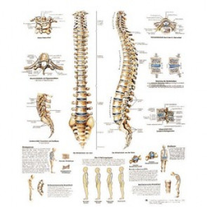 PLANCHE ANATOMIQUE colonne vertebrale