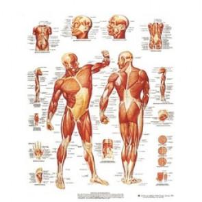 PLANCHE ANATOMIQUE musculatur humaine