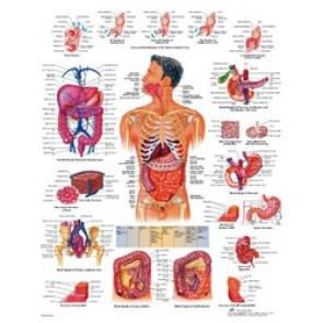 PLANCHE ANATOMIQUE systeme digestif